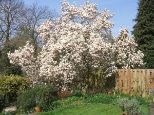 magnolia april 13