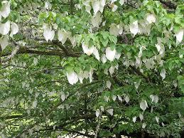 trebah handkerchief tree