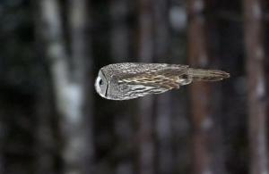 owl_in_flight